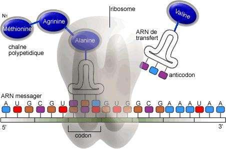 La traduction des protéines est un processus qui a lieu au niveau des ribosomes. © Guillaume Bokiau, Wikimedia, Licence GFDL