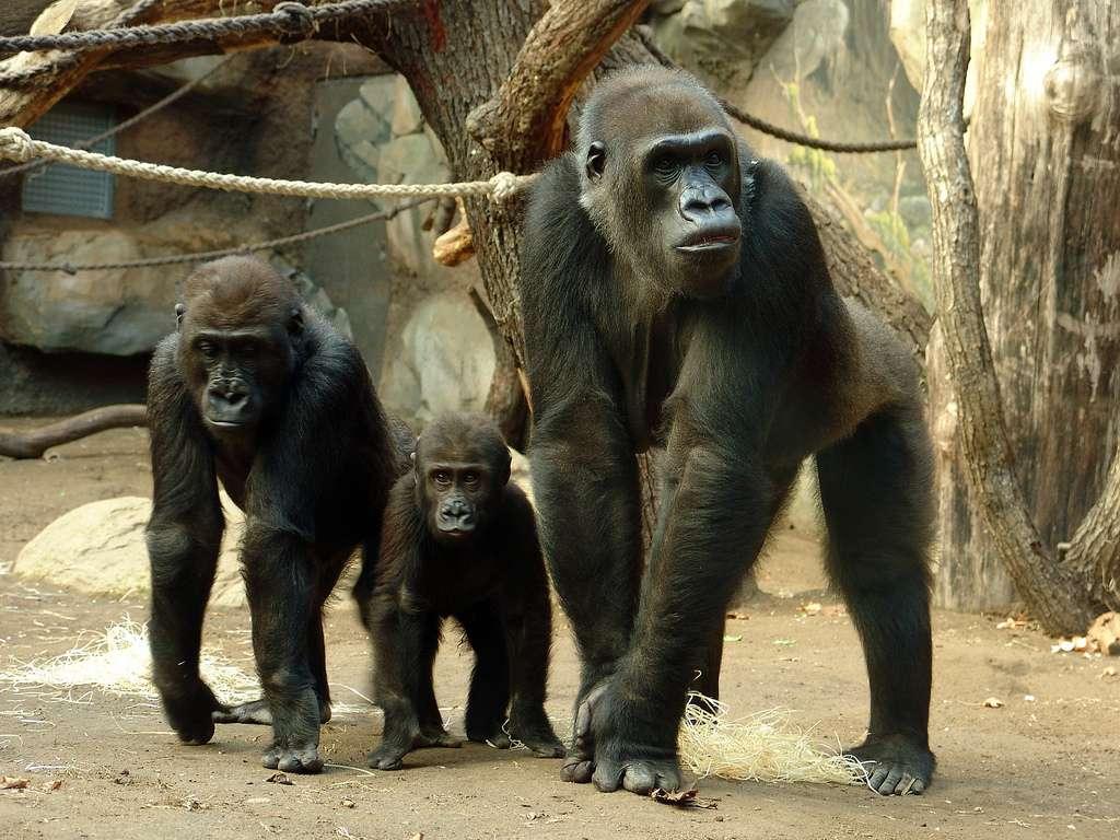 Les gorilles des plaines de l'ouest vivent en groupes composés de 1 mâle, de 5 à 7 femelles et des enfants. Quelques mâles non-dominants peuvent parfois les accompagner. © Joachim S. Müller, Flickr, CC by-nc-sa 2.0