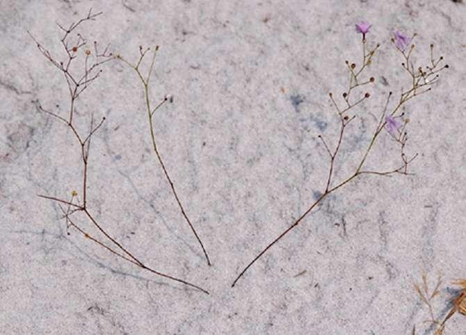 Le caractère carnivore est apparu au moins six fois chez les angiospermes. © Pereira et al., 2012, Pnas