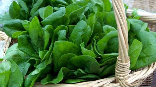Epinards, source de vitamine B9. Crédits DR.