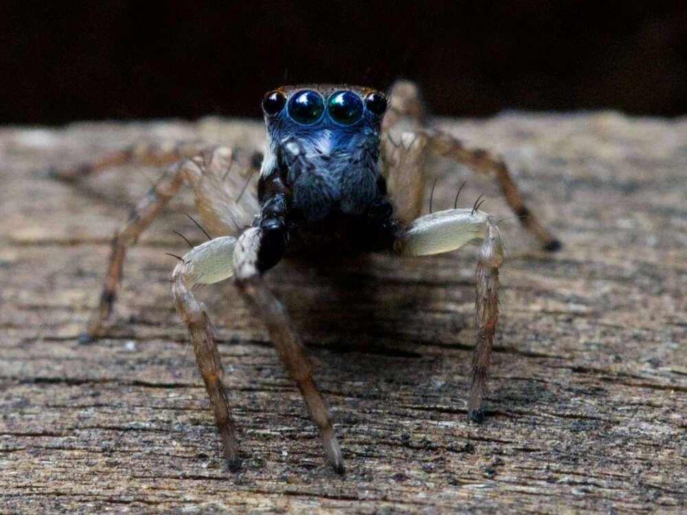 La nouvelle espèce du genre Jotus, une araignée sauteuse d'Australie à la tête bleue. © Amanda De George