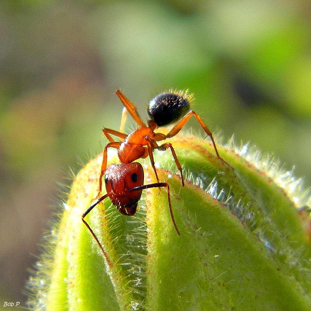 Les fourmis carpenter Camponotus floridanus forment de grandes colonies dans du bois mort. Elles dépérissent totalement lors du décès de la reine. © bob in swamp, Flickr, CC by-nc-sa 2.0