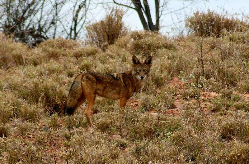 Photo d'un coyote. © Brujogomez - CCA 3.0 Unported license