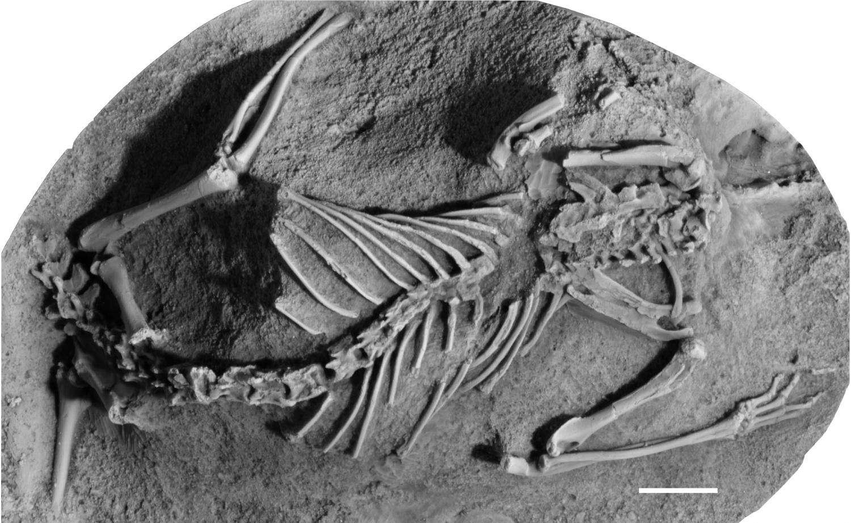 Les mammifères métathériens, comme cet Asiatherium reshetovi, prospéraient sur les terres émergées du Crétacé. © Thomas Williamson
