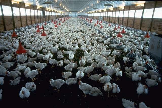 Par leur nombre et leur morphologie, les poulets d'élevage d'aujourd'hui, un produit de l'élevage intensif, constituent un marqueur tout désigné de l'Âge de l'Homme, ou Anthropocène. © DP