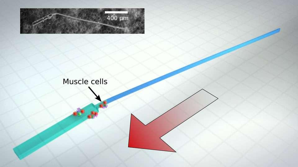 Des ingénieurs américains ont développé, selon eux, la première machine synthétique microscopique qui peut nager par elle-même, et ce grâce à des cellules cardiaques de rats. © Alex Jerez Roman, Beckman Institute for Advanced Science and Technology