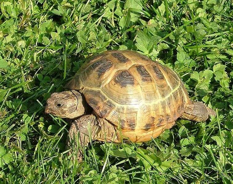 La tortue de Horsfield fut la première à voyager dans l'espace lors d'expérimentations effectuées par les Russes en 1968. © Richard Mayer, Wikipédia, GNU 1.2