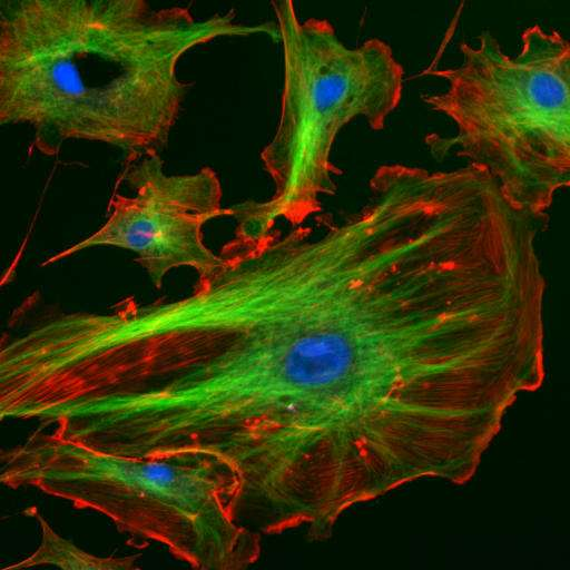 L'autopoïèse désigne les systèmes autocréateurs, comme les cellules. © NIH, domaine public