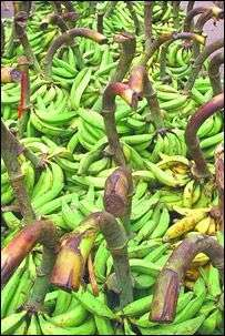 Au Queensland, un tiers de la récolte de bananes est perdu et pourrait servir à prduire de l'énergie.