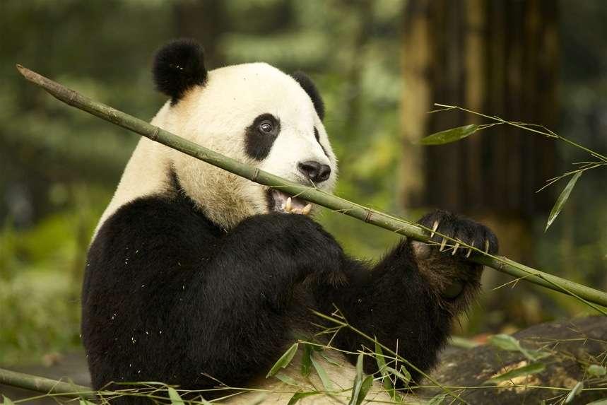 Le panda est en grand danger dans le milieu naturel et fait partie des espèces menacées d'extinction. Grâce à lui, les Hommes découvriront peut-être la solution contre la crise pétrolière ! © Martha de Jong-Lantink, Fotopédia, cc by nc nd 2.0