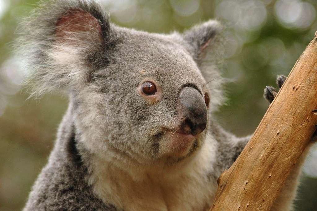 Il subsisterait à ce jour entre 43.000 et 80.000 koalas en Australie. Pourtant, ils étaient plusieurs millions en 1788, avant d'être chassés pour leur fourrure. © Todd Odegaard, Flickr
