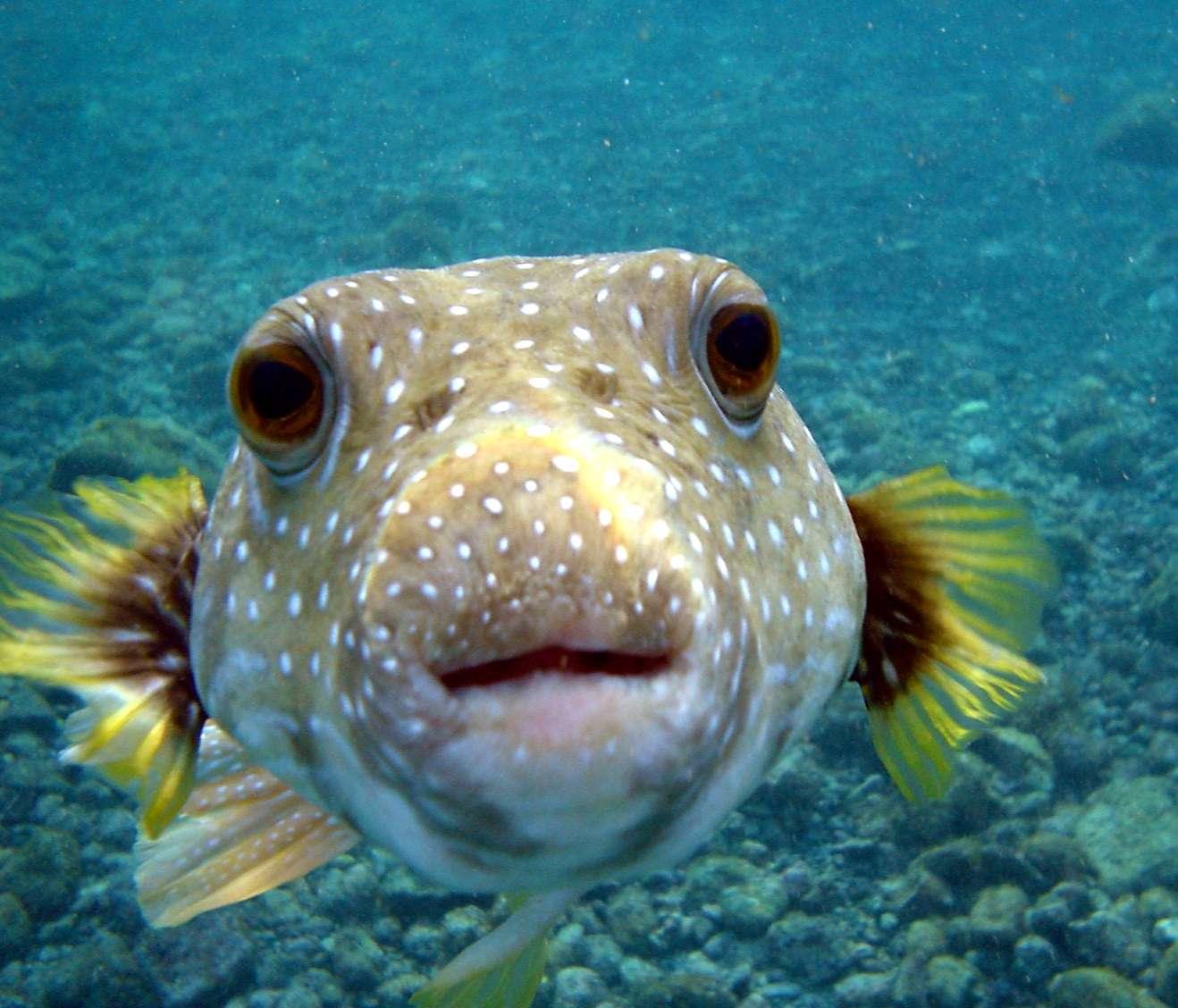 Les poissons communiquent avec leurs nageoires pectorales. Un peu comme nous parlons avec les mains... © Brocken Inaglory, Wikipédia, cc by sa 3.0