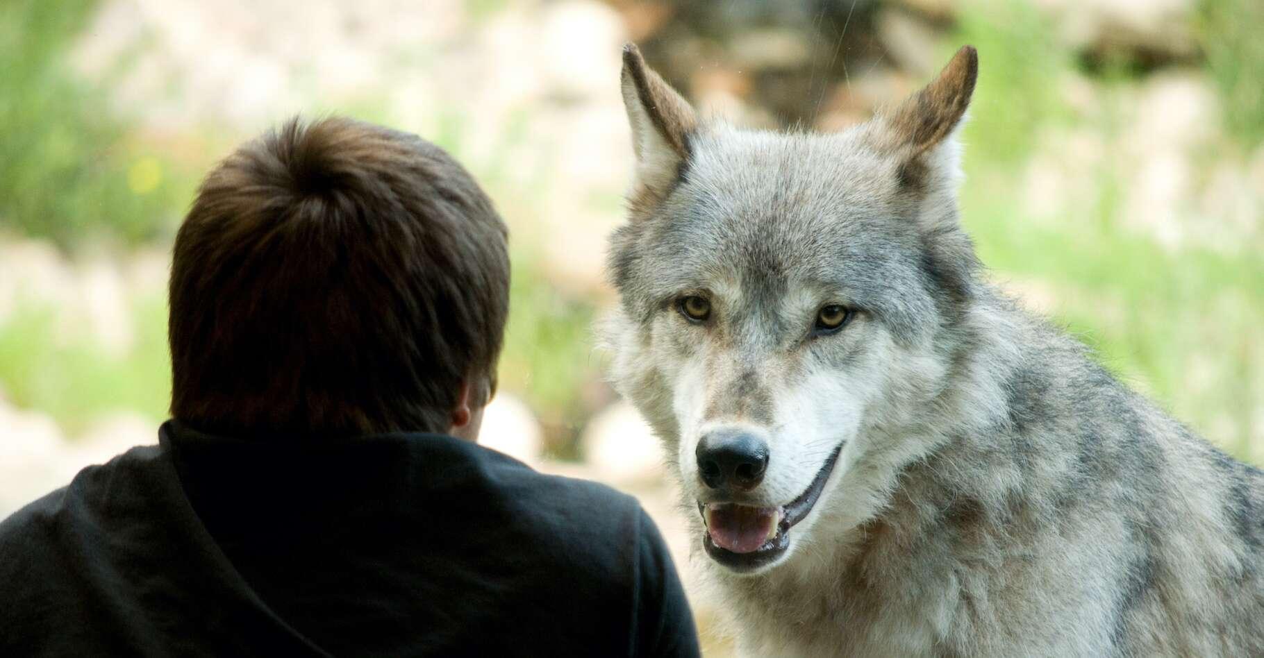Les chercheurs de l'Eötvös Lorand University (Hongrie) affirment que, sans le processus intense de sociabilisation aux Hommes vécu par les loups qu'ils ont testés, ces derniers n'auraient pas montré de signe d'attachement. Ces travaux ne signifient pas que le loup puisse devenir un animal de compagnie. © Heesen Images, Adobe Stock