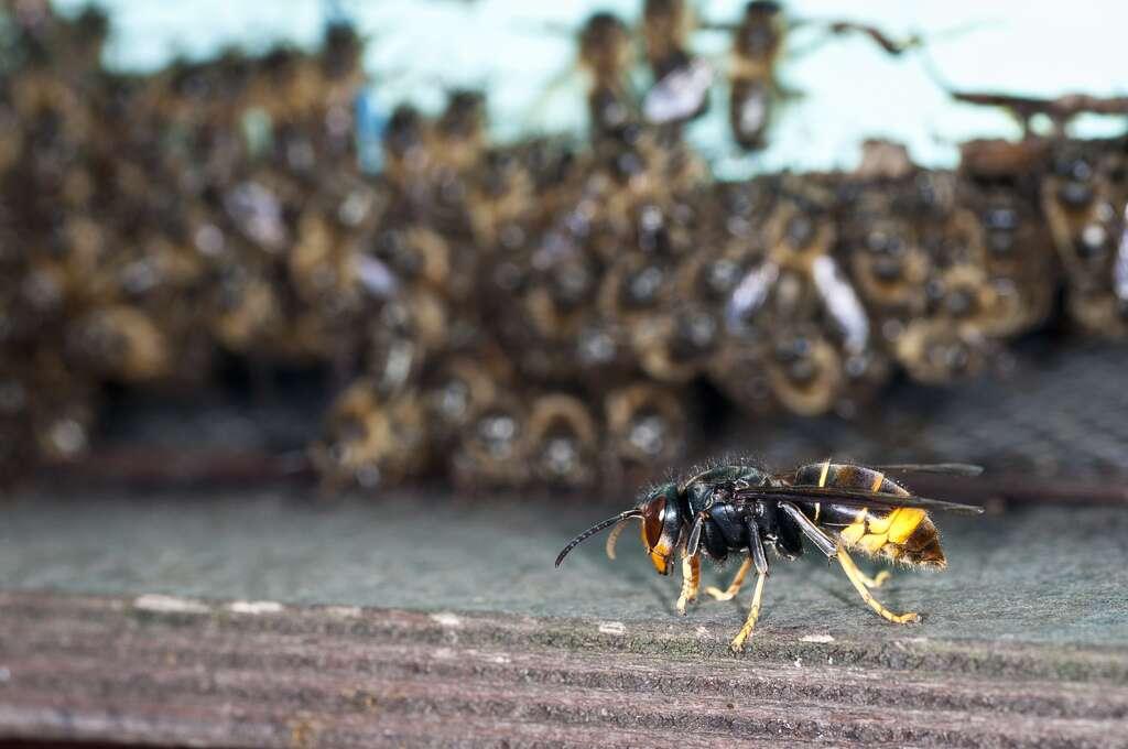 Depuis le 26 décembre 2012, le frelon asiatique (Vespas velutina) est classé dans la liste des dangers sanitaires de deuxième catégorie pour l'abeille domestique (Apis mellifera) en France. © Danel Solabarrieta, Flickr, cc by sa 2.0