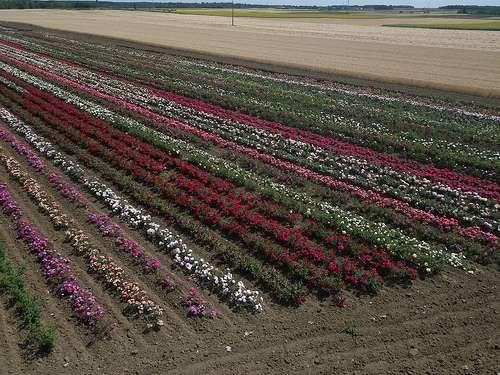 La culture des roses consomme beaucoup d'eau. © Garder le Kap, Flickr, DR