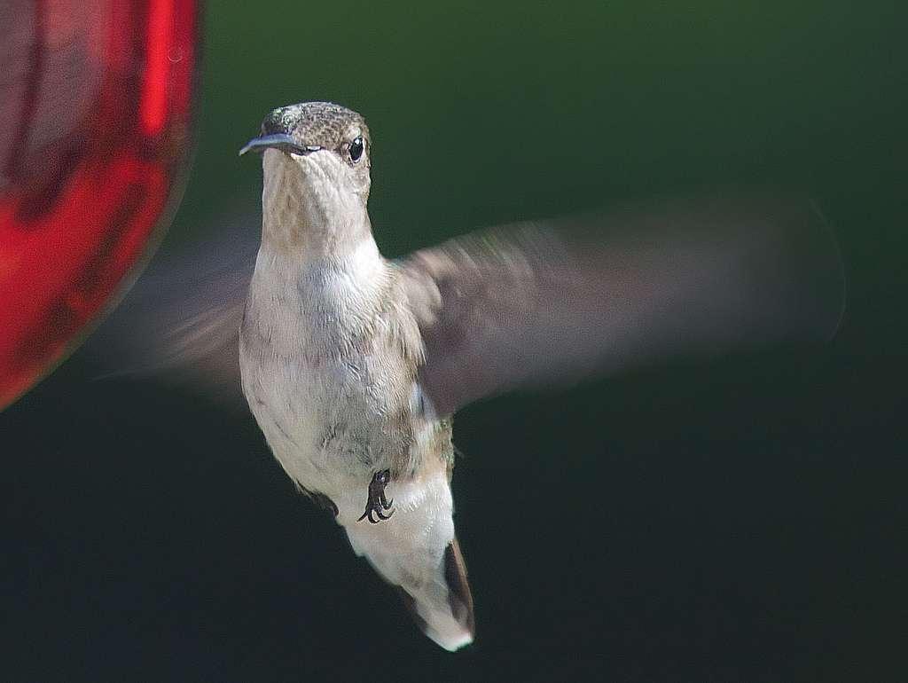 Le colibri à gorge rubis Archilochus colubris peut atteindre une taille de 9 cm. Il vit dans l'est des États-Unis et dans le sud du Canada. L'espèce est néanmoins migratrice, elle passe donc l'hiver au Mexique ou en Amérique centrale. © David Illig, Flickr, CC by-nc 2.0