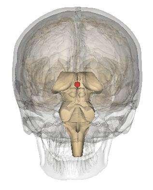 L'épiphyse est située en arrière du mésencéphale. © Life Science Databases, Wikimedia, CC by-sa 2.1