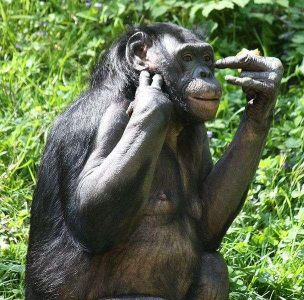Photo d'un bonobo. © Ltshears, CC by-SA 3.0
