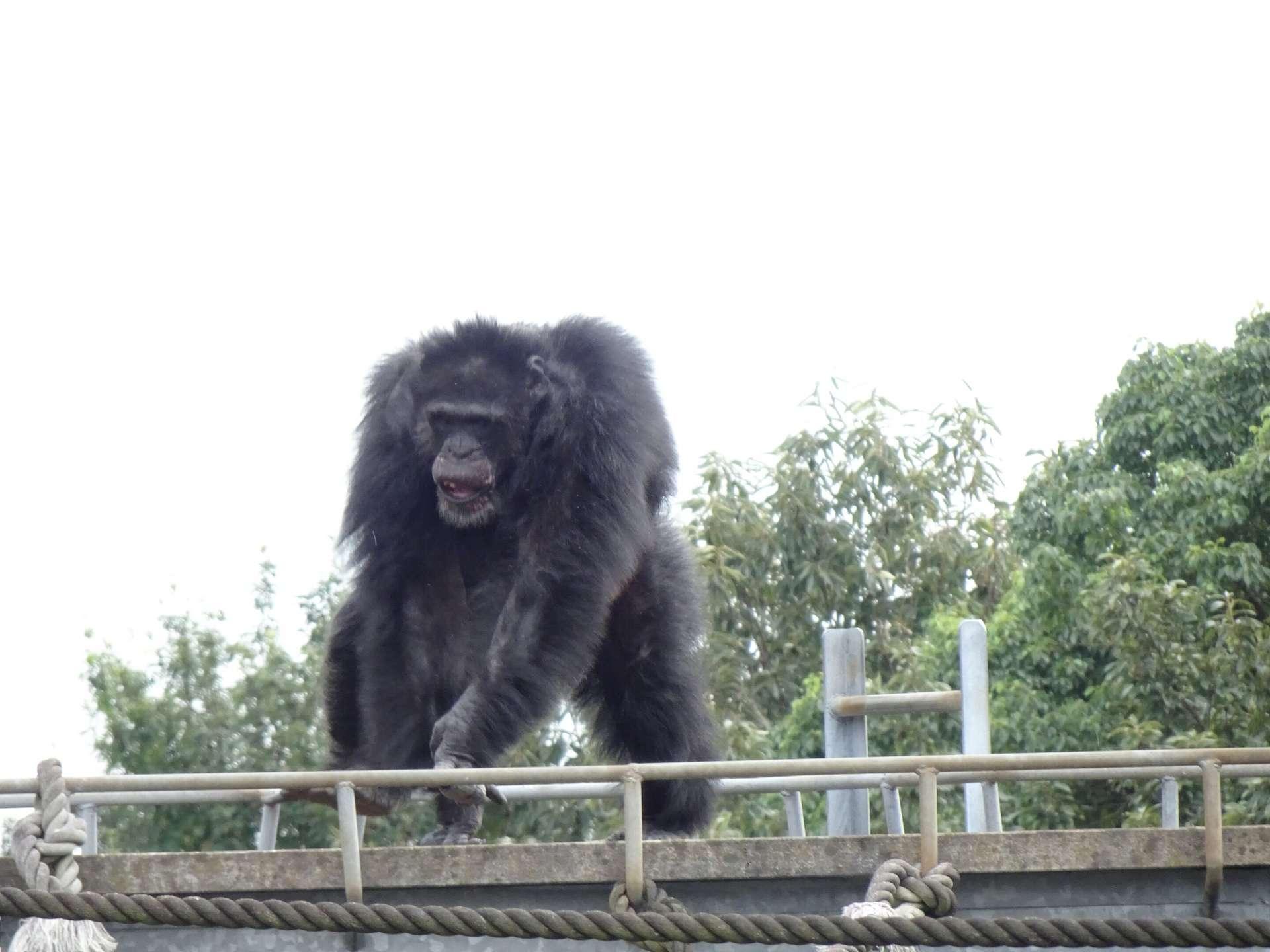 Un chimpanzé mâle qui montre des mouvements saccadés, comparable à de la danse. © Yuko Hattori