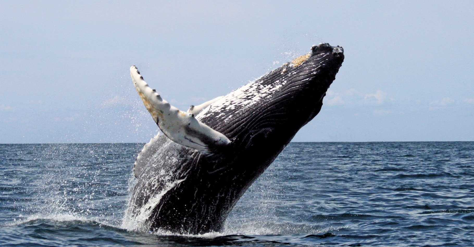 Le saut d'une baleine à bosse. © fotolia
