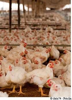 Les poulets se contaminent de leur vivant dans les élevages mais aussi post-mortem, à l'abattoir, au moment de l'éviscération par exemple... mais aussi dans le sac à provisions, dans le réfrigérateur ou au moment de la préparation. © Chris74/Fotloia