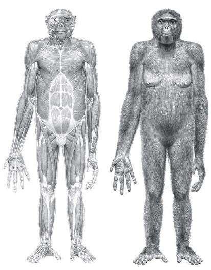 Ardipithecus ramidus, dite Ardi, une femelle de 1,20 mètre qui figure à coup sûr dans la famille des hominidés. © Jay Matternes / Science