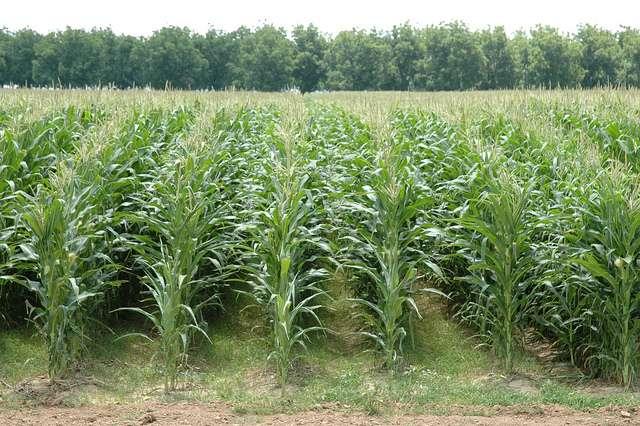 Le maïs MON810 de Monsanto est absent du sol français pour l'instant. © agrilifetoday, Flickr, cc by nc nd 2.0