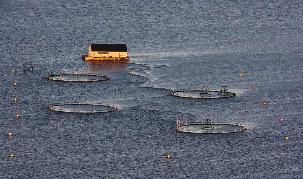 Près de 75 % des saumons disponibles sur le marché proviendraient de Norvège et du Chili, deux pays où l'aquaculture est particulièrement bien développée. La Norvège produirait à elle seule 90 % du saumon de l'Atlantique trouvé sur les étals. © Yodod, Flickr, cc by nc nd 2.0