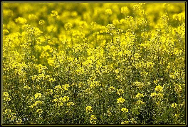 Le goût piquant de la moutarde vient de la partie aglycone soufrée des hétérosides de cette plante. © Jean-Louis JL62 CC by-nd 2.0