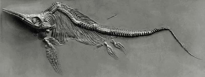 Les ichtyosaures appartenaient à l'ordre des ichtyosauriens. © Fritz Geller-Grimm, Wikimedia Commons, cc by sa 2.5