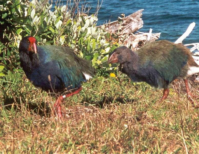 Le takahe est une espèce que l'on a cru disparue. © Sabine's Sunbird, Wikipedia