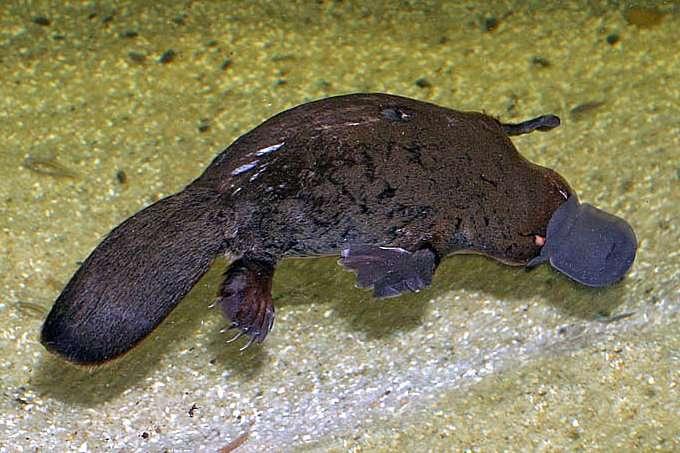 L'ornithorynque est le seul mammifère venimeux. © Christine Ferdinand, Wikipédia, cc by sa 3.0