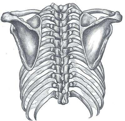 L'omoplate est un os triangulaire participant à l'articulation de l'épaule. © DR