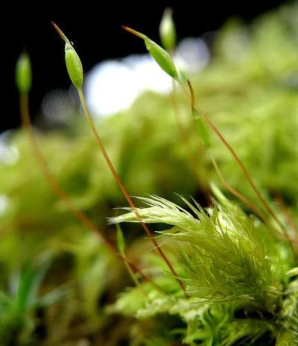 Sporange renfermant les spores d'une bryophyte dans la petite capsule à l'extrémité de la soie. © TheOtherJohnC CC by