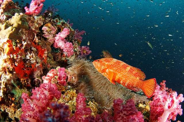 Richelieu Rock : un des plus beaux exemples de l'incroyable vitalité des récifs coralliens dans le Surin National Marine Park en Thaïlande. La carte établie par l'équipe de Joseph Maina aidera certainement à protéger cette biodiversité en péril. © danielguip, Flickr, CC by-nc-sa 2.0