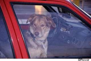 Les animaux sont souvent malades dans les transports. © Phovoir