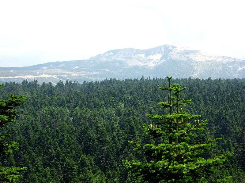 Le sapin de Nordmann est un métabionte originaire d'Asie occidentale. Il se développe dans des forêts de montagne à des altitudes comprises entre 1.000 et 2.000 mètres, sous un climat de type continental relativement humide. Alexander von Nordmann a introduit les premières graines du sapin en Europe en 1838. © Paul, Wikipédia, cc by sa 2.0