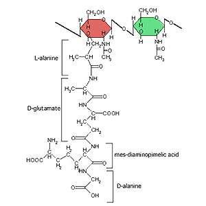 Ce peptidoglycane, constitué en bas d'un peptide et en haut d'une chaîne glucidique, est un glycoconjugué. © AJ Cann CC by-nd 2.0