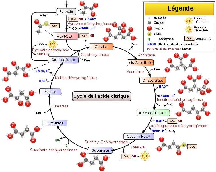 Le cycle de Krebs est un processus métabolique complexe. © Narayanese, WikiUserPedia, YassineMrabet, TotoBaggins, Wikiemdia, CC by-sa 3.0