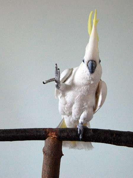 Snowball, un cacatoès à huppe jaune, apporte la preuve que les humains ne sont pas les seuls à avoir le sens de la musique. © Irena Schulz, Bird Lovers Only Rescue Inc.