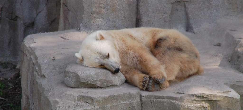 Le terme « pizzly » est un mot-valise obtenu en combinant « grizzly » et « polaire ». Cet animal est aussi nommé prizzly, grolaire ou grolar… Et est déjà affublé d'un nom scientifique, à savoir Ursus pizzlii. © Stefan David, CC by-sa 2.0, Flickr