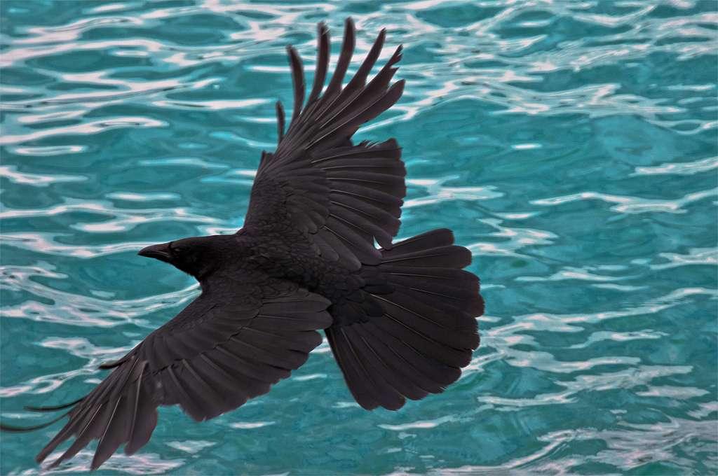 Pourquoi les corvidés ? Leur chair est immangeable sans une très longue cuisson. De plus, ces oiseaux intelligents, qui, par exemple, savent utiliser des outils, ont été peu chassés dans le passé. Réponse : Néandertal s'en servait pour fabriquer des ornements. © Laures73, Flickr, CC by-nc-sa 2.0