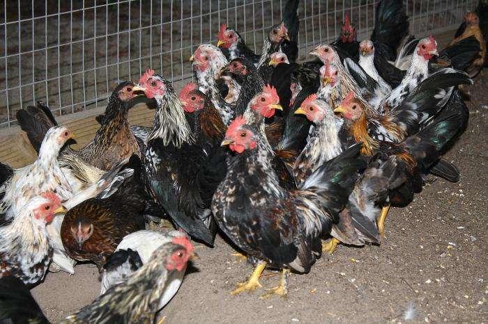 La grippe H7N3 est très contagieuse entre oiseaux et également mortelle mais ne se transmet qu'exceptionnellement de l'animal à l'Homme. Seuls deux cas humains ont été répertoriés en 2004, suite à une épidémie dans un élevage canadien. Les malades n'ont guère eu d'autres symptômes qu'une conjonctivite. Aucune raison de paniquer pour la santé humaine donc... © Eric Grafman, CDC, DP