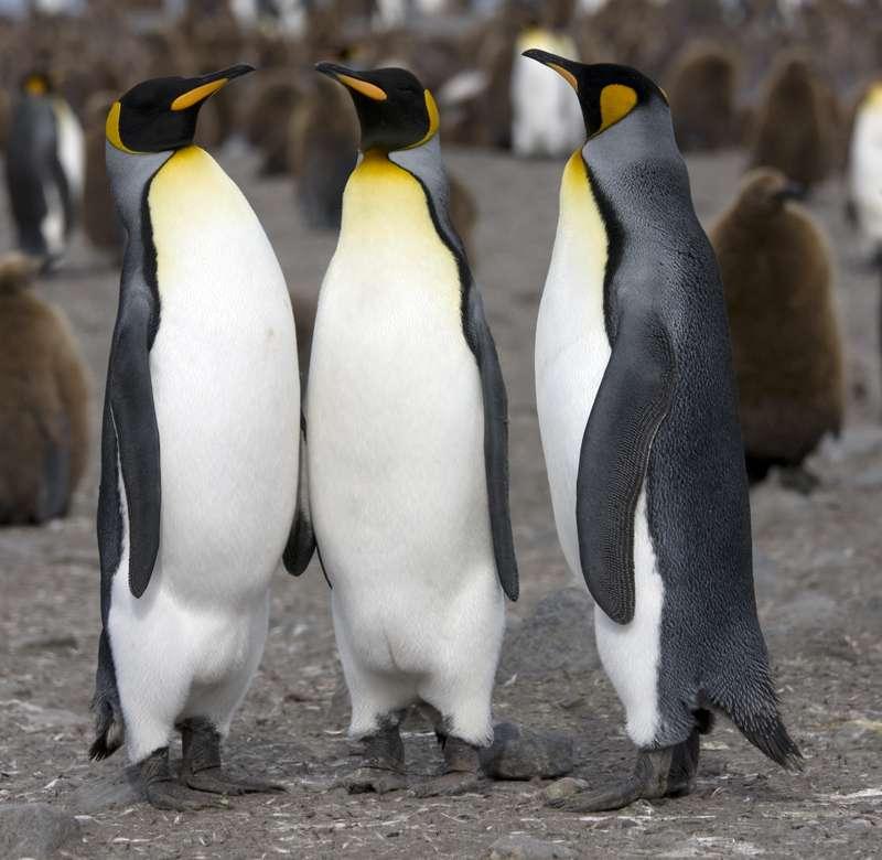 Les manchots royaux adultes sont de grands oiseaux d'une vingtaine de kilogrammes pour près d'un mètre de haut. Ils ressemblent à leurs cousins plus connus, les manchots empereurs de l'Antarctique. © Samuel Blanc, Wikipedia, CC by-sa 3.0