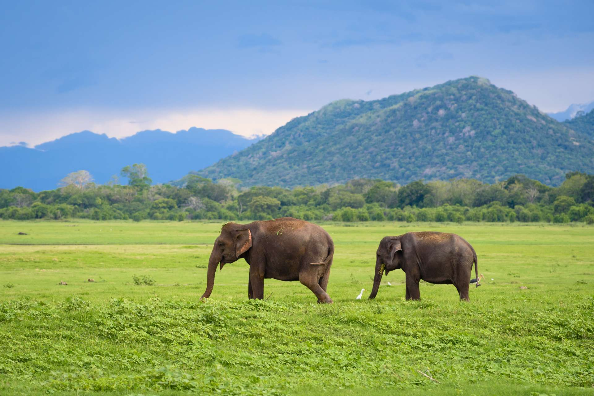 Deux éléphants d'Asie dans un parc national au Sri Lanka. © thdk, Adobe Stock