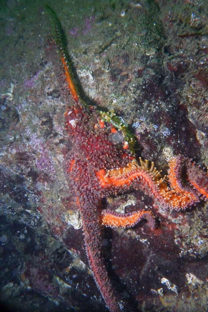 Atteinte du syndrome de dépérissement, cette étoile de mer P. helianthoides, encore accrochée sur la paroi rocheuse, est dans un état de décomposition. La photo a été prise au parc Whytecliff le 31 août 2013. © Jonathan Martin, Flickr, cc by 2.0