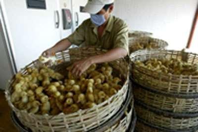 La grippe aviaire est avant tout une maladie animale qui exige une intervention sur le front vétérinaire.© FAO