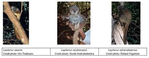 Trois nouvelles espèces de lémuriens à Madagascar