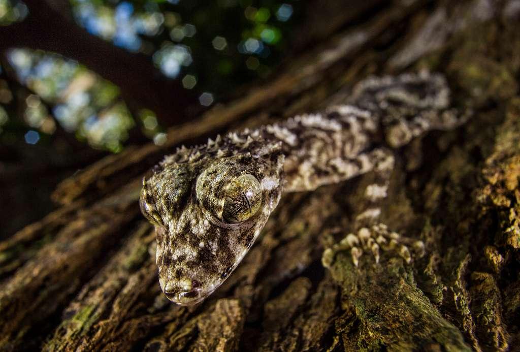 Le gecko Saltuarius eximius a été découvert le 21 mars 2013 sur un plateau de la chaîne de montagnes Cape Melville, à 500 m d'altitude (Australie). © Tim Laman, National Geographic, nc nd