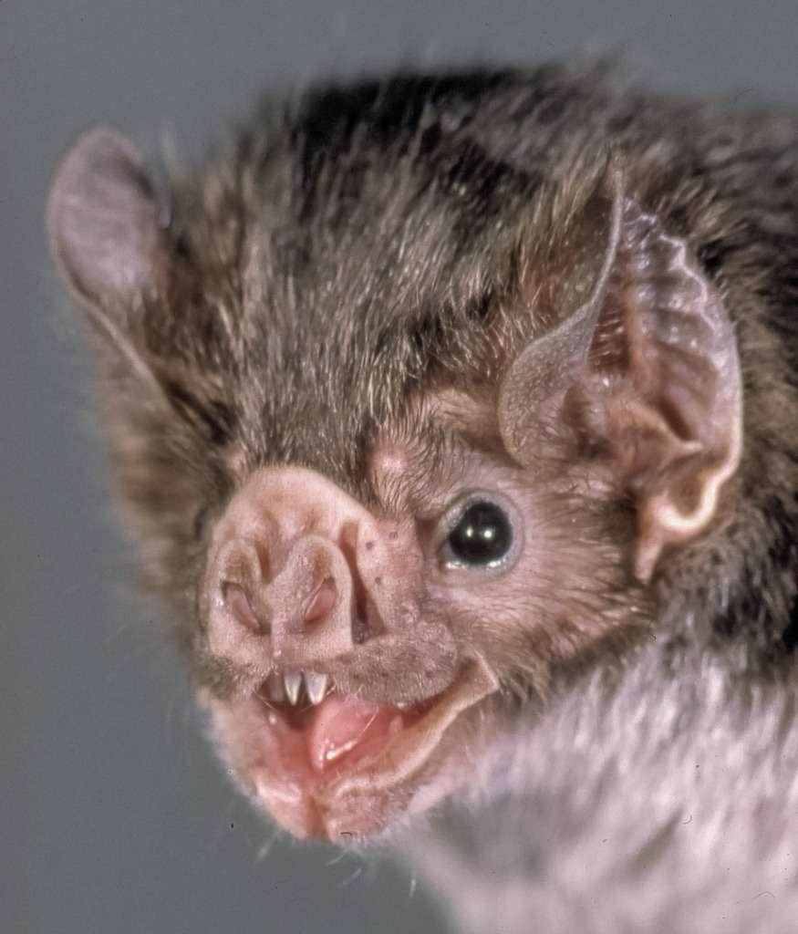 Portrait d'une chauve-souris vampire de l'espèce Desmodus rotundus. © Uwe Schmidt, Wikimédia, CC by-sa 4.0